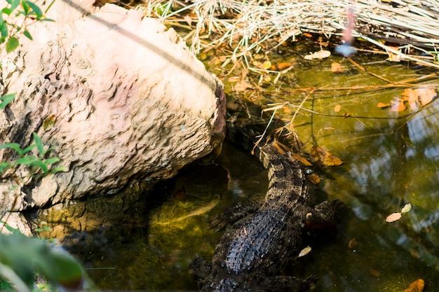 Een krokodil drijft in een gesimuleerde vijver in een kooi.