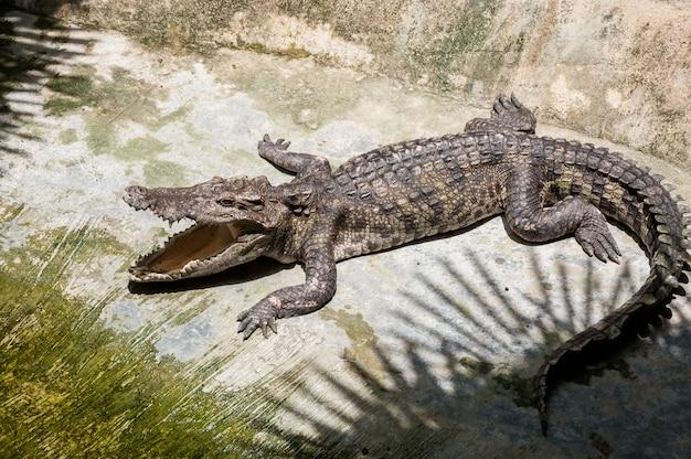 Een krokodil koestert zich op het land in de schaduw van het openinggat van de handpalmen