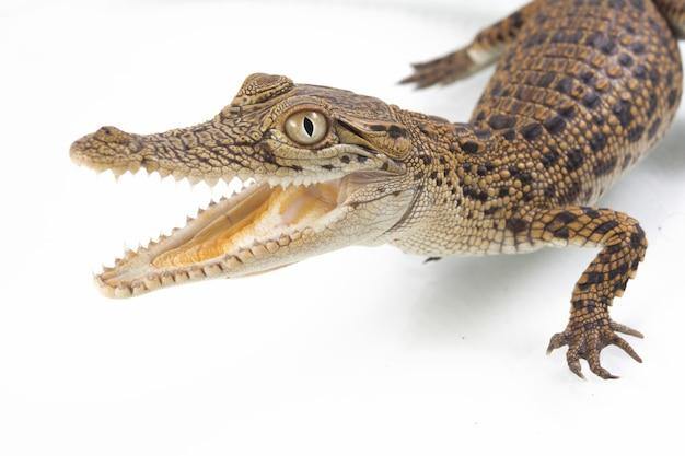 Een krokodil van het babyzoutwater op witte achtergrond wordt geïsoleerd die
