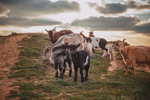 Een kudde berggeiten staande op een veld