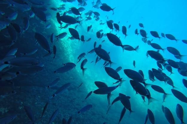 Een kudde bermuda chubs zwemmen onder water in de zee bij koraalrif onderwaterfoto