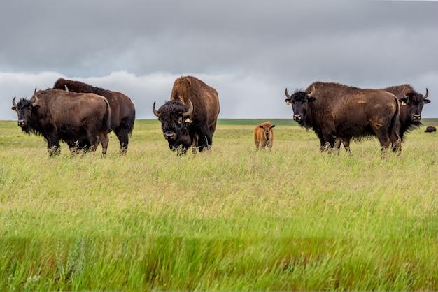 Een kudde bizons buffels van de vlaktes met een babykalf die in een weiland in saskatchewan, canada weiden