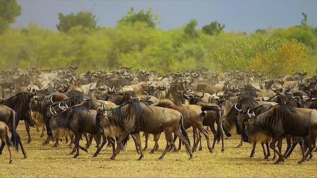 Een kudde buffels in het veld