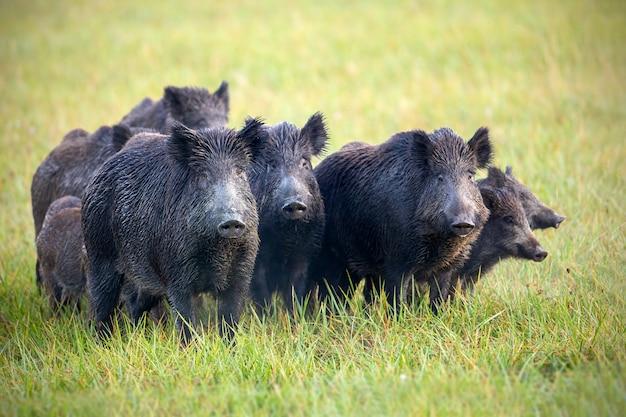 Een kudde everzwijnen op een weide met gras nat van dauw.