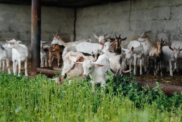 Een kudde geiten en schapen grazen in de open lucht op de ranch. vee grazen, veeteelt. het fokken van vee.