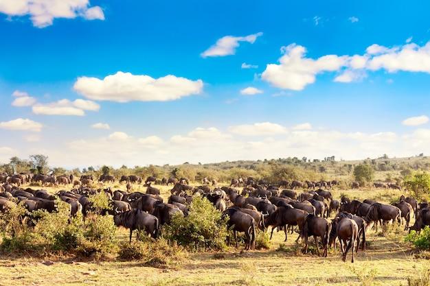 Een kudde gnoes tijdens grote trek in masai mara national park. kenia, afrika.