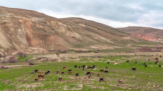 Een kudde koeien graast in een bergdal
