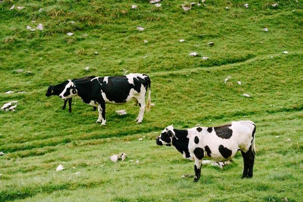 Een kudde koeien graast op groene heuvelachtige weiden in de bergen van montenegro durmitor nationaal park