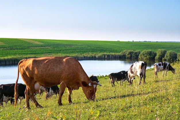 Een kudde koeien graast op het veld