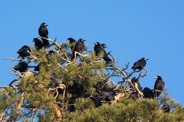 Een kudde kraaien op dennenboom