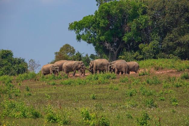 Een kudde olifanten, volwassenen en welpen die mineralen eten in de grond in de natuur in het nationale park khaoyai, thailand op de berg