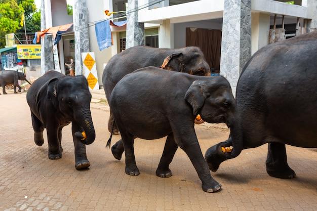 Een kudde olifanten wordt door een stadsstraat geleid nadat ze in de rivier hebben gezwommen. olifantenweeshuis in sri lanka.