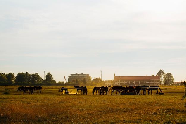 Een kudde paarden grazen op het veld tegen de achtergrond van gebouwen