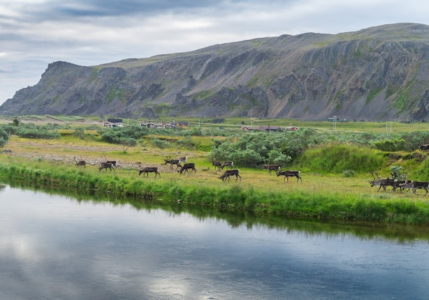 Een kudde rendieren aan de kust van sandfjord, varanger peninsula, finnmark, noorwegen