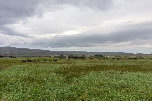 Een kudde rendieren in varangerhalvoya national park, finnmark, noorwegen
