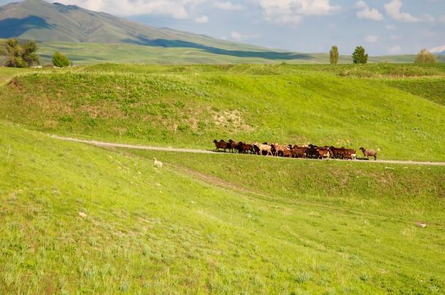 Een kudde schapen gaat over een bergweg tussen de groene heuvels