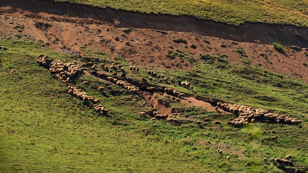 Een kudde schapen graast op een berghelling