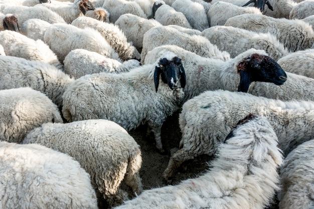 Een kudde schapen in india