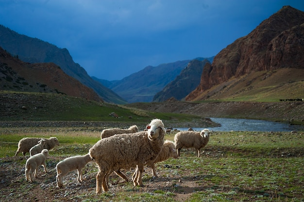 Een kudde schapen steekt over het veld, een bergrivier, blauwe lucht