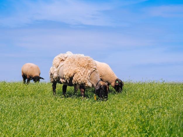 Een kudde schattige kleine lammeren en schapen op frisse groene weide in de nederlandse dijk.