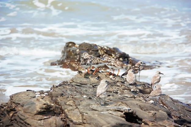 Een kudde van de grotere zandplevieren en steenlopers