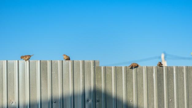 Een kudde van mussen zittend op een metalen hek bij zonsondergang tegen de blauwe hemel