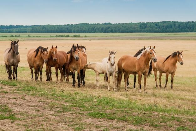 Een kudde wilde paarden rent over het veld