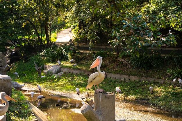 Een kudde witte pelikanen die in een vogelpark wonen