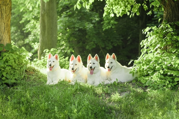 Een kudde witte zwitserse herdershonden op een wandeling in de natuur.