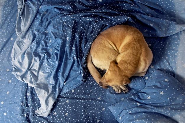 Een labrador hond ligt op een bed en beddengoed.