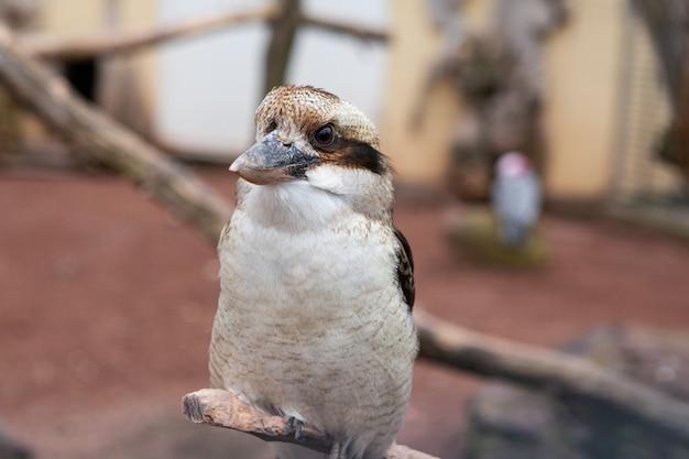 Een lachende kookaburra, dacelo novaeguineae, zat op een tak