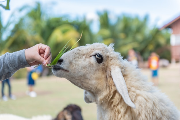 Een lam eet voer en de toeristen voeden lammeren in landbouwbedrijf.
