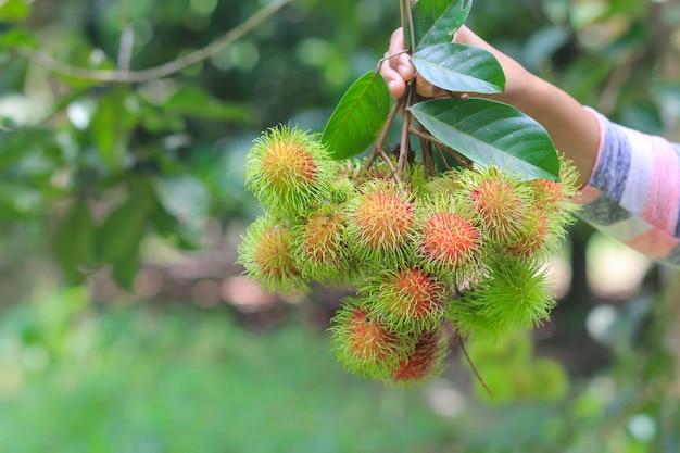 Een landbouwer die vers rambutan fruit in de tuin houdt