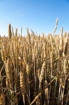 Een landbouwgebied met vergeeld rijp graan in de zomer