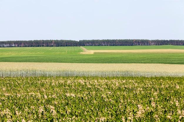 Een landbouwgebied waar tarwe wordt verbouwd