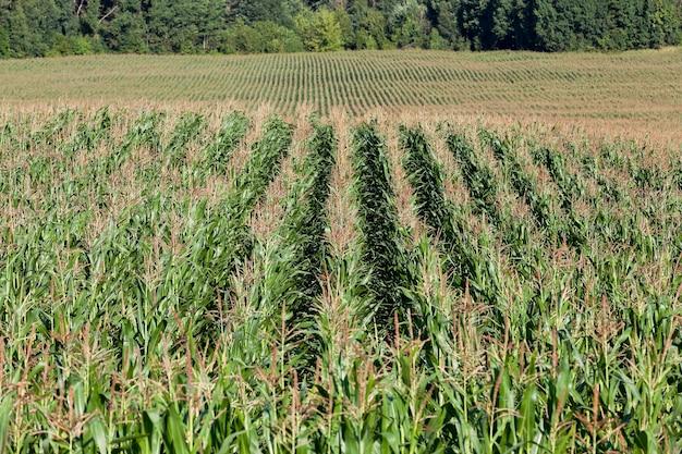 Een landbouwveld in de zomer, waar groene onrijpe maïs groeit