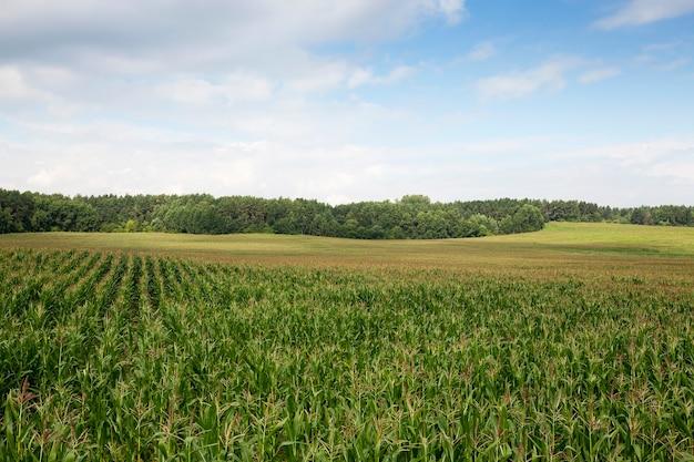Een landbouwveld in de zomer, waarop onrijpe groene maïs groeit