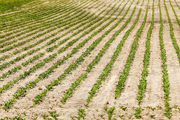 Een landbouwveld waar bieten worden verbouwd voor voedsel, landbouw met vruchtbare grond en het verkrijgen van een goede oogst en kwaliteit van producten voor de productie en productie van suiker in de fabriek