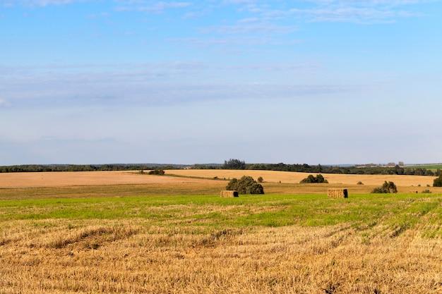 Een landbouwveld waar graan en tarwe werden geoogst. op het veld bleef ongebruikt stro. op de achtergrond een blauwe lucht.