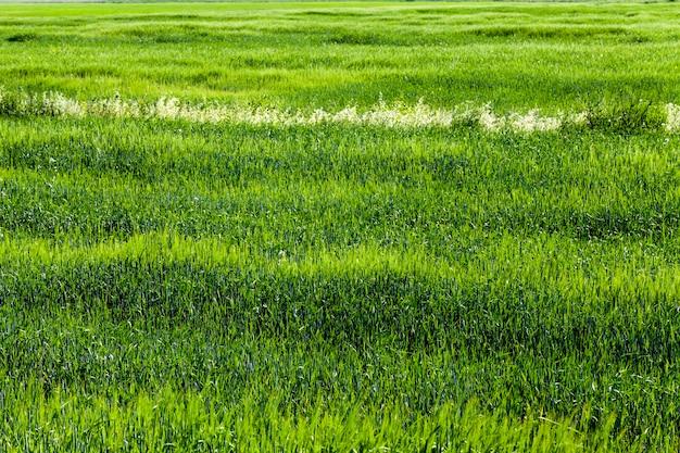 Een landbouwveld waar rogge wordt verbouwd