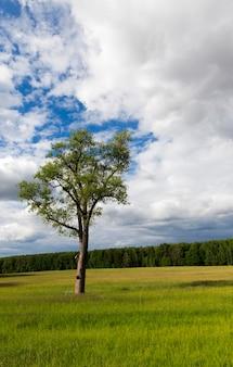 Een landbouwveld waarop een eenzame boom groeit. zomerseizoen, bewolkt weer. het werd van dichtbij genomen, focus op boom. op de achtergrond de lucht met wolken en bos