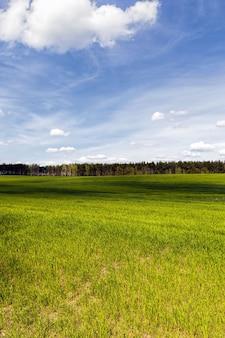 Een landbouwveld waarop gewassen van granen, tarwe of rogge, landbouwactiviteiten in europa in het oosten