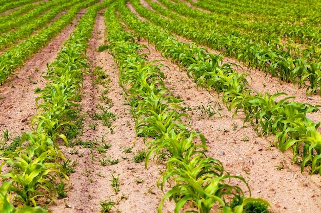 Een landbouwveld waarop jonge maïs opgroeit