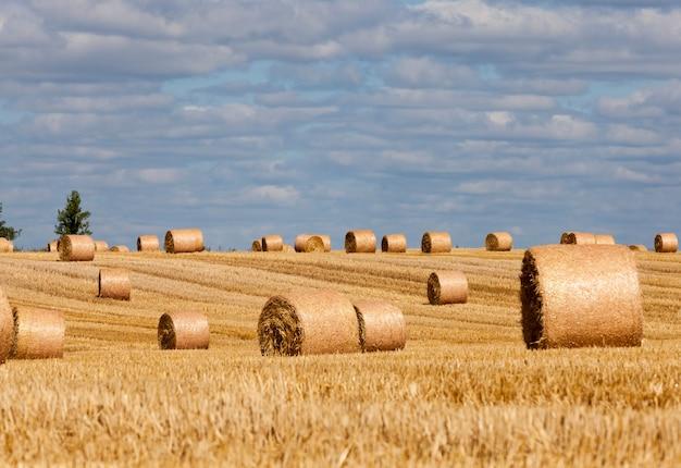 Een landbouwveld waarop stapels stro liggen na het oogsten van rogge, stoppels van rogge op een landelijk veld