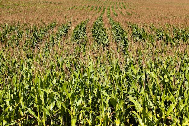 Een landbouwveld waarop tijdens de bloei de maïs groeit. zomertijd van het jaar.