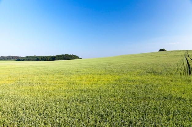 Een landschap van landbouwvelden waarop groene, onrijpe rogge groeit