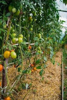 Een lang bed van tomaten in de kas op de boerderij. hoge struiken van planten. oogsten en verzorgen van planten.