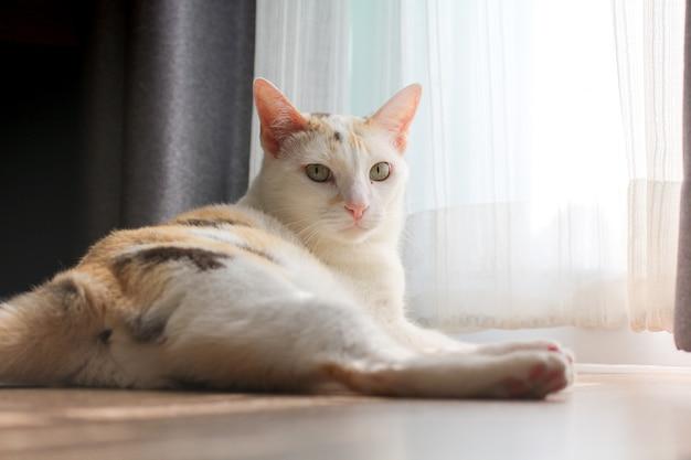 Een lapjeskat ligt naast het witte gordijn en staart naar de camera.