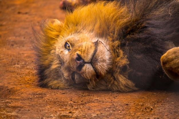 Een leeuw slaapt na het eten in het gras. bezoek aan het belangrijke weeshuis in nairobi van onbeschermde of gewonde dieren. kenia
