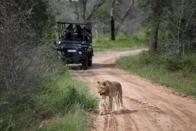 Een leeuwin die voor een vrachtwagen staat